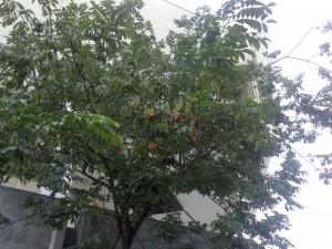 cây sưa đỏ ở bảo tàng